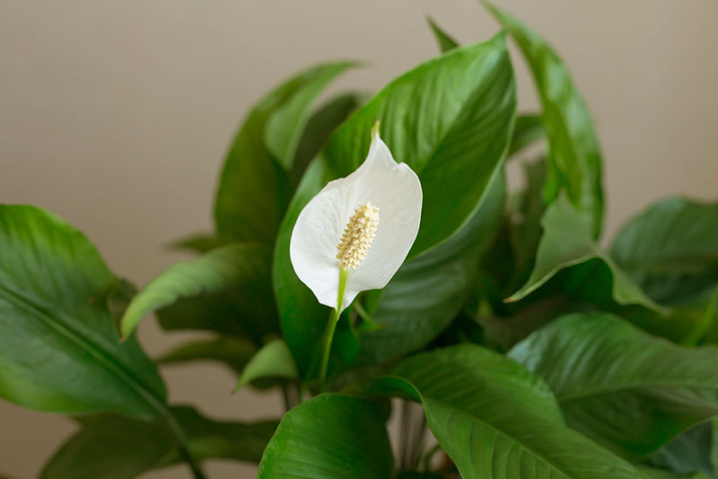 Peace Lily - cure for asthma