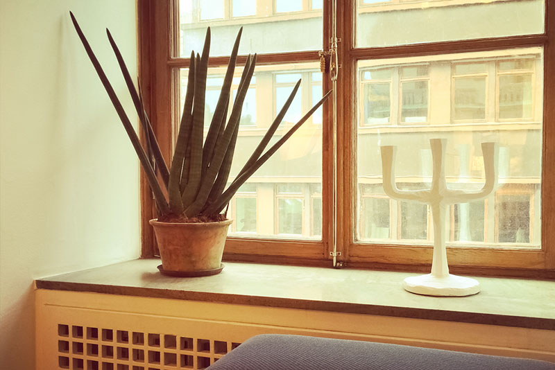 snake plant - cure for asthma