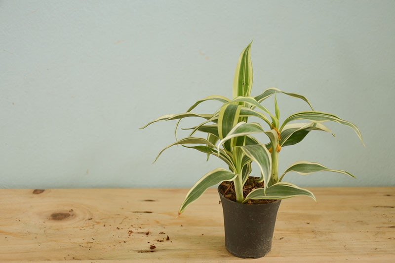 Dracaena - cure for asthma